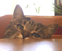 tabby cat peeking over table