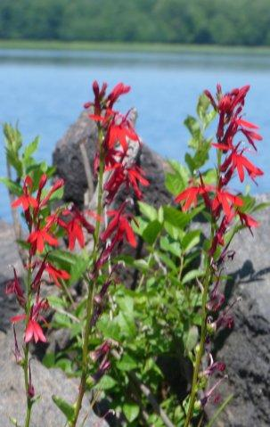cardinal flowers in Pontiac Bay, 2013