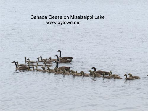 Canada Geese on Mississippi Lake near Carleton Place
