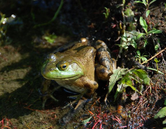 Green Frog, Photograph by Lynne Wilson